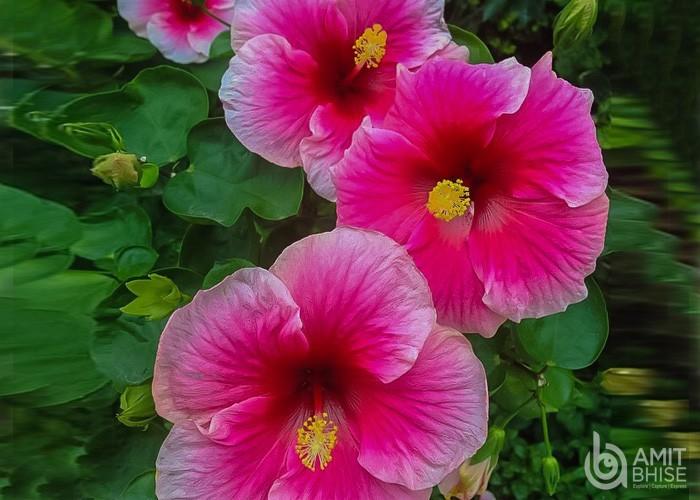Pink Jaswand Flower