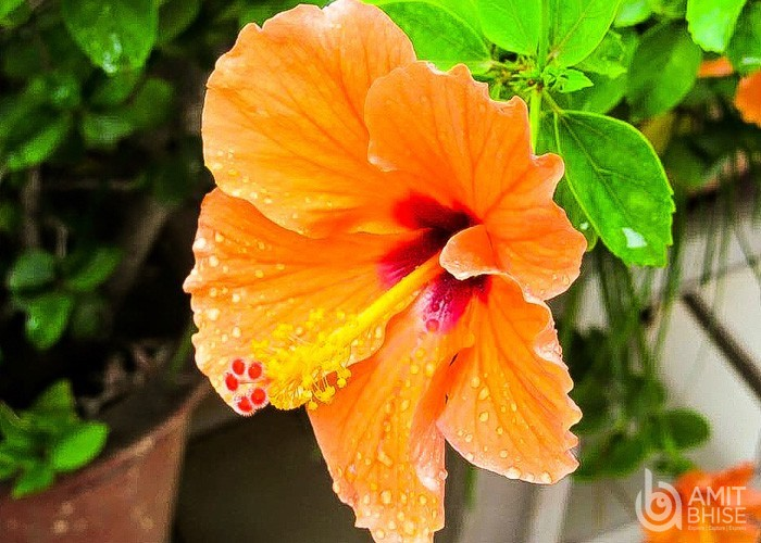 Red Yellow Hibiscus Flower