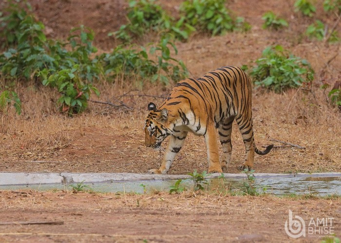 Tadoba Photography of Tiger