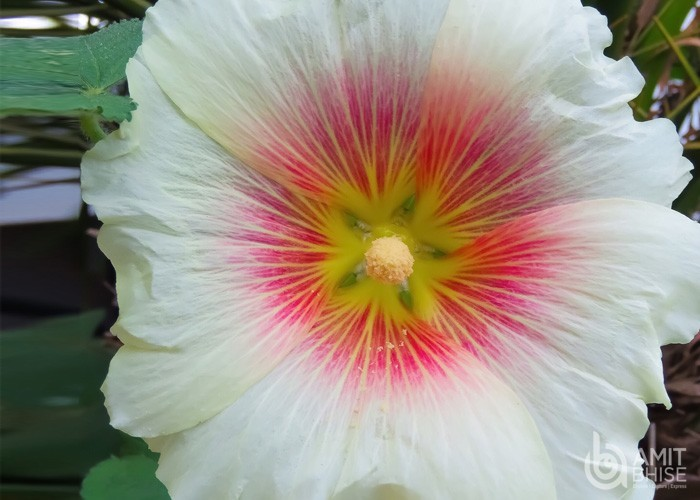 White _ Pink Hibiscus Flowers