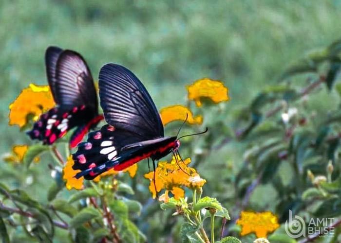 Black butterfly(1)