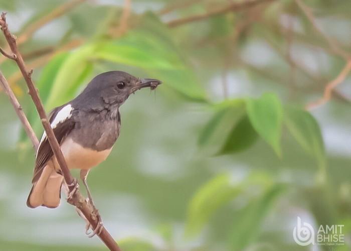 Old world flycatcher