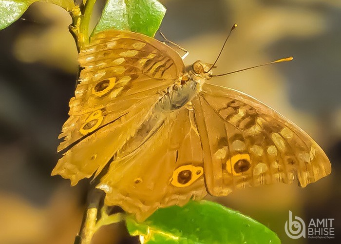 Orange _ brown butterfly